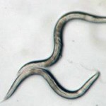 flatworms_0